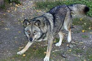 ...волк и, напав на собаку, схватил ее, потащил в кусты