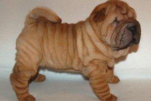 фото собаки породы шарпей