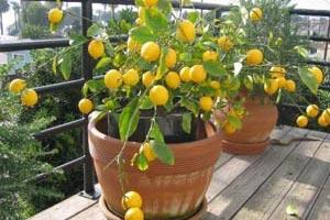 что делать если залил комнатный лимон