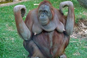 Секс с орангутангом онлайн