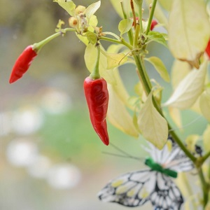 Сладкий перец: огород на подоконнике